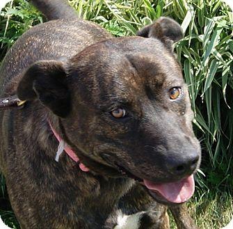 Dutch Shepherd Mix Dog for adoption in Monroe, Michigan - Greta