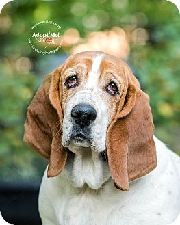 Basset Hound Dog for adoption in Cincinnati, Ohio - Coco