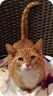 Domestic Shorthair Kitten for adoption in Hillside, Illinois - Tristan- 5-6 MONTHS