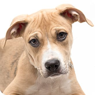 Terrier (Unknown Type, Medium) Mix Puppy for adoption in Westfield, New York - Paisley