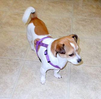 Pekingese/Jack Russell Terrier Mix Dog for adoption in Girard, Georgia - Bandit 1