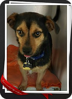 Terrier (Unknown Type, Small) Mix Dog for adoption in Apache Junction, Arizona - Mojo