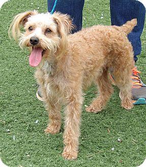 Poodle (Miniature)/Schnauzer (Miniature) Mix Dog for adoption in Twinsburg, Ohio - Murphy (11 lb) Video