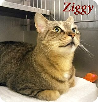 Domestic Shorthair Cat for adoption in El Cajon, California - Ziggy