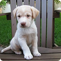 Labrador Retriever Mix Puppy for adoption in Kirkland, Quebec - Phoebe is Reserved
