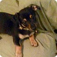 Adopt A Pet :: Cortese: adoption pending - Astoria, NY