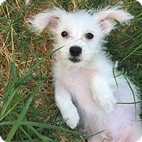 Adopt A Pet :: Flint - Brea, CA