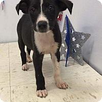 Adopt A Pet :: Border x - Pompton Lakes, NJ