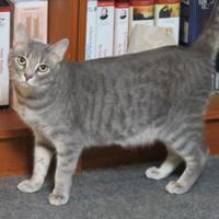 Adopt A Pet :: Cindy Bear - Ellicott City, MD