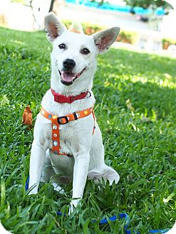 Labrador Retriever/Shiba Inu Mix Dog for adoption in San Mateo, California - Jobby