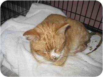 Domestic Shorthair Cat for adoption in Lethbridge, Alberta - Flame
