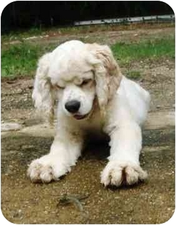 Cocker Spaniel Puppy for adoption in Sugarland, Texas - Morti