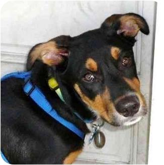 Australian Shepherd/Labrador Retriever Mix Puppy for adoption in Orlando, Florida - Chesley