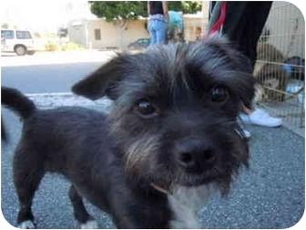Scottie, Scottish Terrier/Miniature Schnauzer Mix Dog for adoption in Culver City, California - Scotty