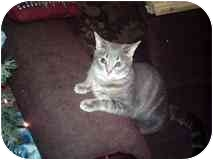 Domestic Shorthair Cat for adoption in Bay City, Michigan - Sedessa
