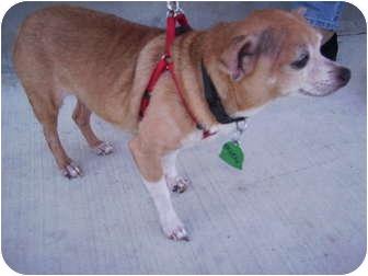 Chihuahua/Chihuahua Mix Dog for adoption in Umatilla, Florida - Chichi