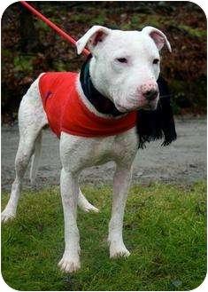 American Pit Bull Terrier Mix Dog for adoption in WARREN, Ohio - Joe