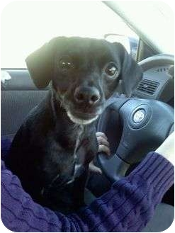 Chihuahua/Terrier (Unknown Type, Small) Mix Dog for adoption in Nanuet, New York - Lexi
