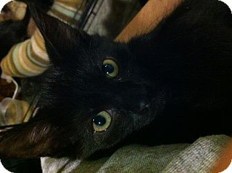 Domestic Shorthair Kitten for adoption in Pittstown, New Jersey - Liza