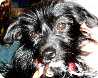 Terrier (Unknown Type, Small)/Dachshund Mix Dog for adoption in Castro Valley, California - Cleo