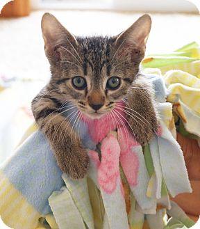 Domestic Shorthair Kitten for adoption in Hillsboro, Illinois - Pepper