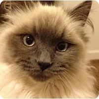 Adopt A Pet :: Peyton - Beverly Hills, CA
