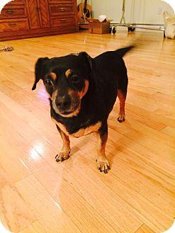 Dachshund/Miniature Pinscher Mix Dog for adoption in Las Vegas, Nevada - Cash