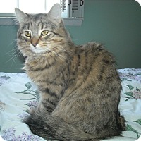 Adopt A Pet :: Alvin -Playful Cuddler - Arlington, VA