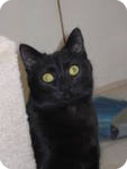 Domestic Shorthair Cat for adoption in Las Cruces, New Mexico - Libby