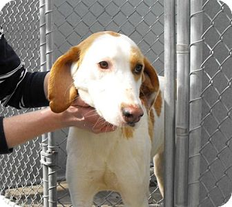 Hound (Unknown Type)/Foxhound Mix Dog for adoption in Napoleon, Ohio - Sarah