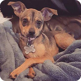 Chihuahua/Rat Terrier Mix Dog for adoption in Phoenix, Arizona - Carmen