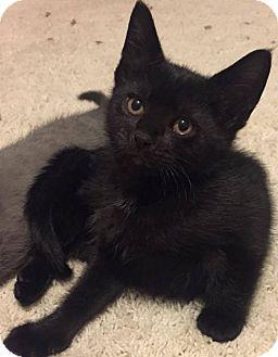 Domestic Shorthair Kitten for adoption in Palatine, Illinois - Snowy White