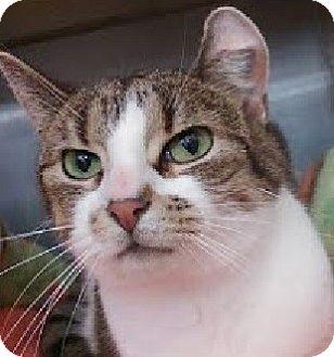 Domestic Shorthair Cat for adoption in Hillside, Illinois - Lenny-3 LEGS