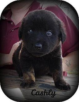 Labrador Retriever Mix Puppy for adoption in Greenville, Kentucky - CASHLY