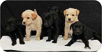 Labrador Retriever/Golden Retriever Mix Puppy for adoption in Manhattan, New York - Lab X Puppies