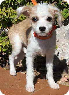 Australian Shepherd/Terrier (Unknown Type, Small) Mix Puppy for adoption in Gilbert, Arizona - Monet