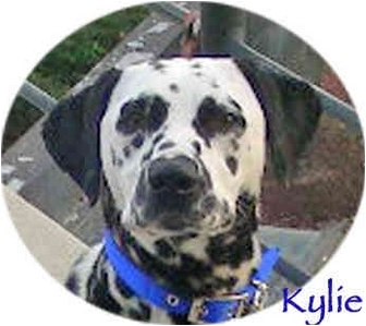 Dalmatian Dog for adoption in Mandeville Canyon, California - Kylie