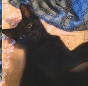 Domestic Shorthair Cat for adoption in Montreal, Quebec - Skeete