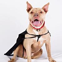 Adopt A Pet :: Winston - Armonk, NY