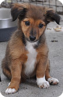 Dachshund Mix Puppy for adoption in Lebanon, Tennessee - Bacall