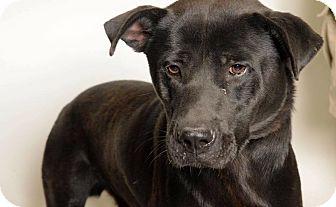 Labrador Retriever/Pit Bull Terrier Mix Dog for adoption in Fargo, North Dakota - Vaughn **ADOPTING PENDING**