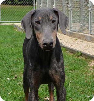 Doberman Pinscher Mix Dog for adoption in Barrington, Illinois - Monet