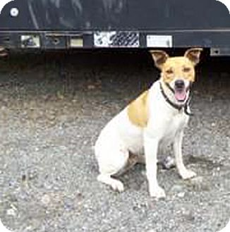 Fox Terrier (Smooth) Mix Dog for adoption in Sacramento, California - URGENT needs home now