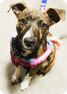 Whippet Mix Puppy for adoption in Red Lion, Pennsylvania - Zaphira