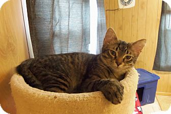 Hemingway/Polydactyl Kitten for adoption in Medford, Wisconsin - BREXA