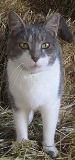 Domestic Shorthair Cat for adoption in Sistersville, West Virginia - Chole G