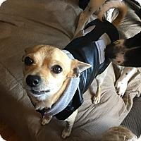 Adopt A Pet :: Mr Bean - Beachwood, OH