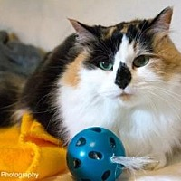Domestic Mediumhair/Domestic Shorthair Mix Cat for adoption in Neenah, Wisconsin - Madre
