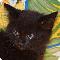 Adopt A Pet :: Mowgli - Englewood, FL
