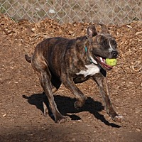 Pit Bull Terrier Mix Dog for adoption in McKinleyville, California - Buster